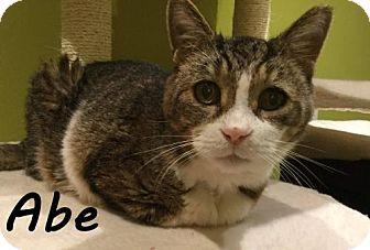 Domestic Shorthair Cat for adoption in Hamilton, Ontario - Abe