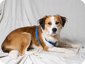 St. Bernard Mix Dog for adoption in Tulsa, Oklahoma - Dutch