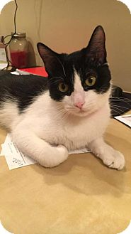 Domestic Shorthair Cat for adoption in Minneapolis, Minnesota - Oreo 2