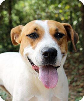 Jack Russell Terrier Mix Puppy for adoption in The Woodlands, Texas - Lilly