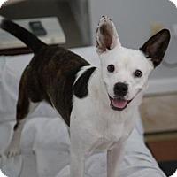 Adopt A Pet :: Frenchie - Nesbit, MS