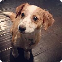 Adopt A Pet :: Cheddar - San Diego, CA