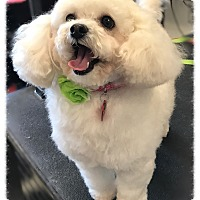 Maltese/Poodle (Toy or Tea Cup) Mix Dog for adoption in Los Alamitos, California - Perla