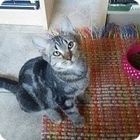 Domestic Mediumhair Kitten for adoption in Naperville, Illinois - Sweetie