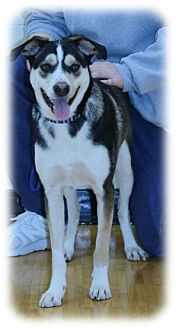 Husky Mix Dog for adoption in Shakopee, Minnesota - Timber D3218