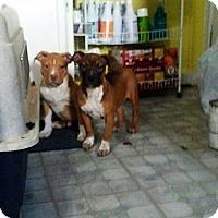 Adopt A Pet :: Pebbles - Vernon, CT