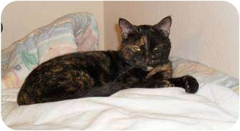 Domestic Shorthair Cat for adoption in Springdale, Arkansas - Momma
