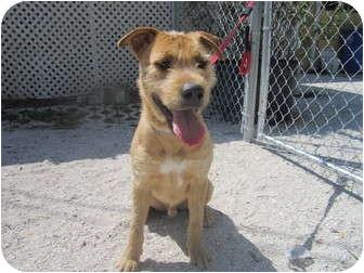 Shane | Adopted Dog | A15678612 | Bradenton, FL | Airedale ...