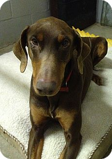 Doberman Pinscher Dog for adoption in New Richmond, Ohio - Sirena--adopted!!