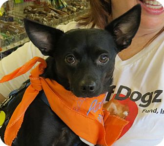 Schipperke/Australian Kelpie Mix Dog for adoption in Scottsdale, Arizona - Jack