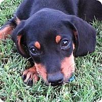 Adopt A Pet :: *Mighty Mack - PENDING - Westport, CT