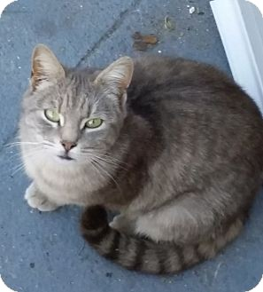 Domestic Shorthair Cat for adoption in Brooklyn, New York - Chia Lot o' Love!