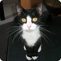 Adopt A Pet :: Saphire - Raritan, NJ