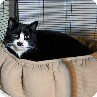 Domestic Shorthair Cat for adoption in Barrie, Ontario - Lela