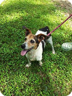 Jack Russell Terrier Mix Dog for adoption in Columbia, Tennessee - Woody