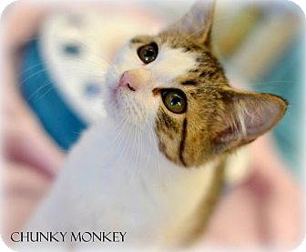 Domestic Shorthair Kitten for adoption in Mansfield, Texas - Chunky Monkey