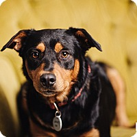 Adopt A Pet :: Weizer - Portland, OR