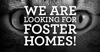 Domestic Shorthair Cat for adoption in Bryn Mawr, Pennsylvania - FOSTER HOME NEEDED