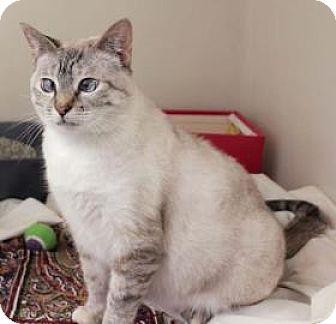 Siamese Cat for adoption in Cocoa, Florida - Friskies (Merritt Island Center)