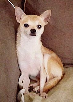 Chihuahua Mix Dog for adoption in South Bend, Indiana - Stewart