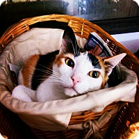 Calico Cat for adoption in San Clemente, California - Chloe