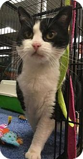Domestic Shorthair Cat for adoption in Bear, Delaware - Julie
