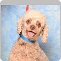 Adopt A Pet :: Chloe - Pittsboro, NC