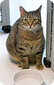 Domestic Shorthair Cat for adoption in Victor, New York - Napoleon