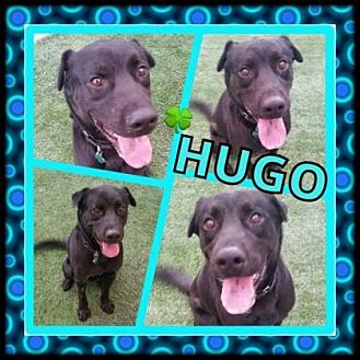 Labrador Retriever Mix Puppy for adoption in Scottsdale, Arizona - Hugo