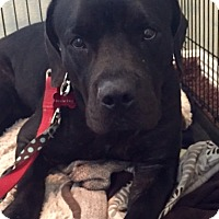Labrador Retriever Mix Dog for adoption in San Diego, California - Zelda