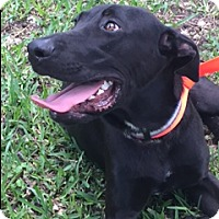 Labrador Retriever/Great Dane Mix Puppy for adoption in Homestead, Florida - Ricky