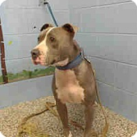 Pit Bull Terrier Mix Dog for adoption in San Bernardino, California - URGENT on 9/2 SAN BERNARDINO