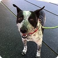 Australian Cattle Dog Mix Dog for adoption in Wilmington, Delaware - Chip