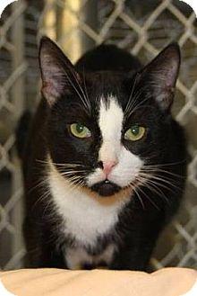 Domestic Shorthair Cat for adoption in Freeport, New York - Chester