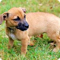 Adopt A Pet :: PUPPY HOT FUDGE - Norfolk, VA