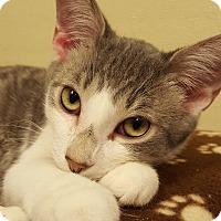 Adopt A Pet :: Silver Dollar - Grayslake, IL