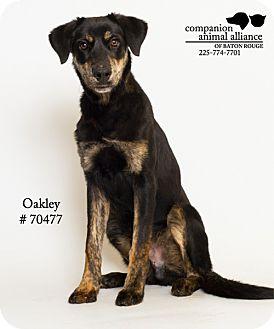 Hound (Unknown Type)/Retriever (Unknown Type) Mix Dog for adoption in Baton Rouge, Louisiana - Oakley