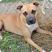 Boxer Mix Dog for adoption in Jacksonville, Alabama - Lily