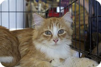 Domestic Longhair Kitten for adoption in Ellicott City, Maryland - .Spice