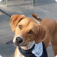 Adopt A Pet :: Ben - Peace Dale, RI