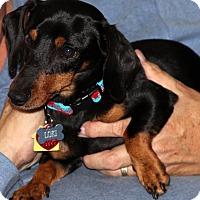 Adopt A Pet :: Loki, possible pending home - Spokane, WA