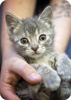 Domestic Mediumhair Kitten for adoption in Sterling, Kansas - Carrie