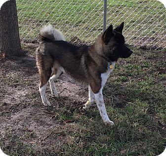 Akita Mix Dog for adoption in Point, Texas - Apollo