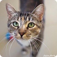 Adopt A Pet :: Gwen - Canyon Country, CA