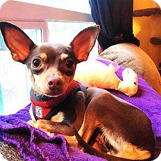 Chihuahua/Miniature Pinscher Mix Dog for adoption in Kirkland, Washington - Lavender – Sweet & spunky litt