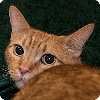 Adopt A Pet :: Cheeto - San Juan Capistrano, CA