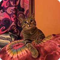 Domestic Shorthair Cat for adoption in Des Moines, Iowa - Daisy