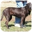 Photo 3 - American Pit Bull Terrier Mix Dog for adoption in Centerton, Arkansas - Rosie
