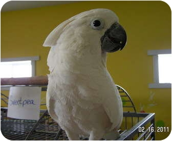 Cockatoo for adoption in Edgerton, Wisconsin - Sweet Pea