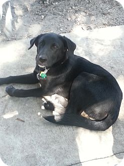 Labrador Retriever Mix Puppy for adoption in hollywood, Florida - charlie